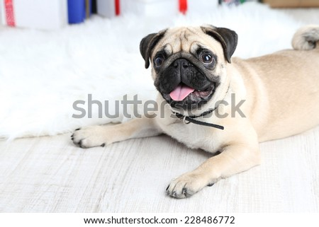 Funny, cute and playful pug dog on white carpet - stock photo