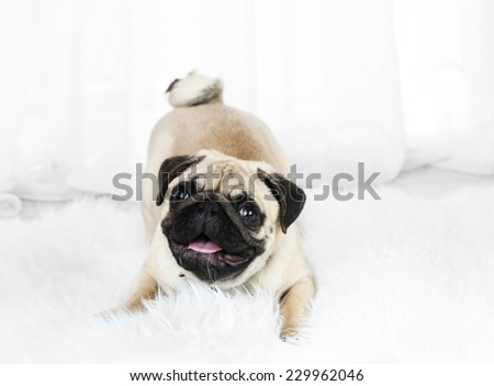 Funny, cute and playful pug dog on white carpet on light background - stock photo