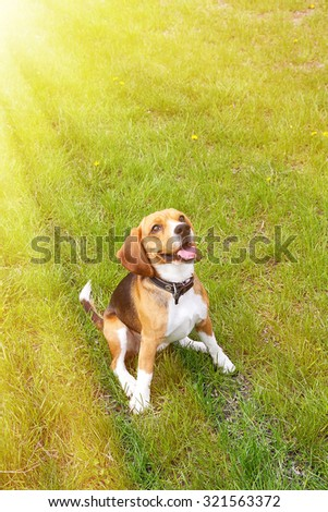 Funny cute beagle dog in park on green grass - stock photo