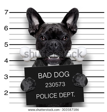 funny cute french bulldog holding a placard while a mugshot is taken, bone in mouth and guilty - stock photo