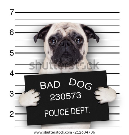 funny cute pug holding a placard while a mugshot is taken - stock photo