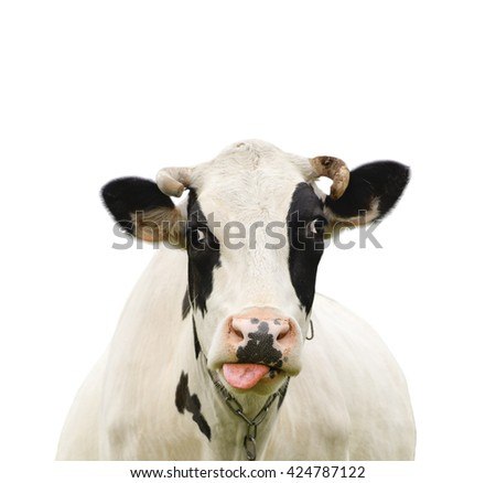 Funny cute talking cow isolated on white/ Cow isolated on white - stock photo