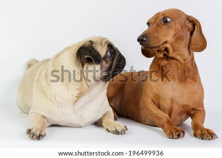 Funny Dachshund and Pug - stock photo