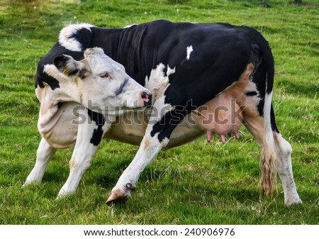 Funny Dancing Dairy Cow showing off her Udder. The most popular farm animal for milk produce  - stock photo