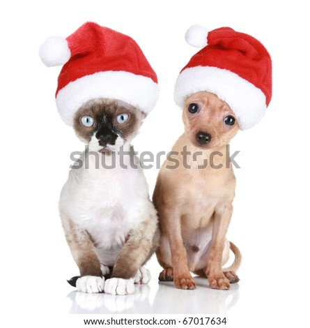 Funny Devon-rex cat and Toy-terrier in Christmas hats on a white background - stock photo