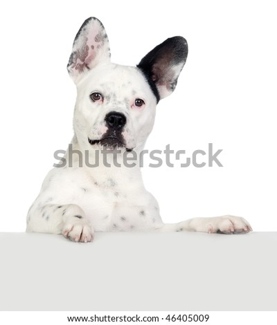 Funny dog black and white with big ears isolated - stock photo