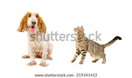 Funny dog breed Russian Spaniel and cat Scottish Straight - stock photo