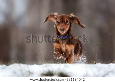 funny dog dachshund  jumps up in winter park - stock photo