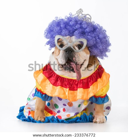 funny dog - english bulldog dressed up as a clown on white background - stock photo
