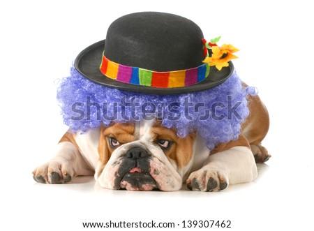 funny dog - english bulldog dressed up like a clown isolated on white background - stock photo