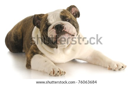 funny dog - english bulldog with silly expression laying down on white background - stock photo