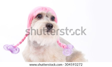 funny dog , hair style dog,afro hair style dog,long tongue ,sweet eyes