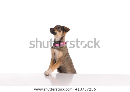 funny dog in the studio - stock photo