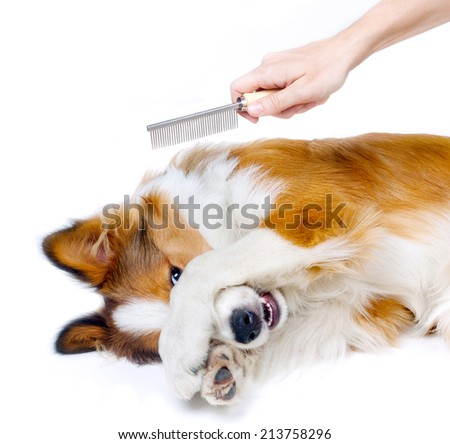 Funny dog showing fear of grooming - stock photo