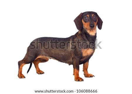 Funny dog teckel isolated on white background - stock photo