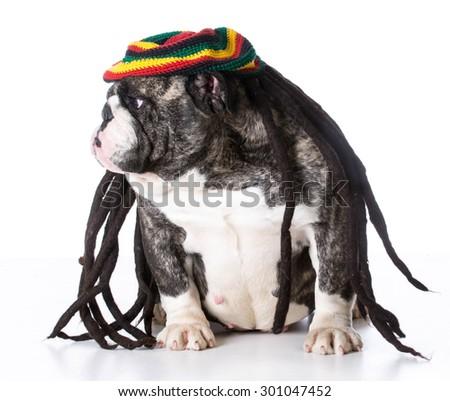 funny dog wearing dreadlock wig on white background - bulldog - stock photo