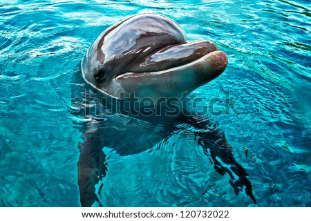 funny dolphin swimming and smiling closeup in bright blue sea water - stock photo