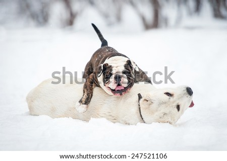 Funny english bulldog playing with central asian shepherd dog in winter - stock photo