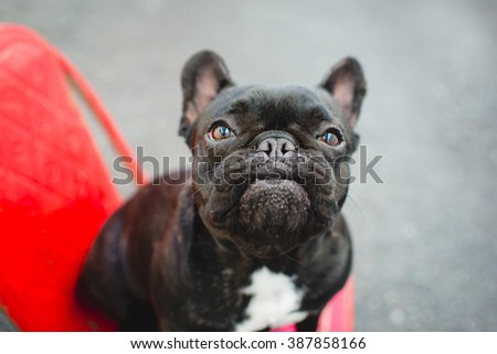 Funny face black French Bulldog on red chair