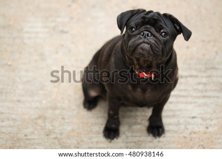 Funny face of black pug dog waiting to eat dog snack on concrete road.
