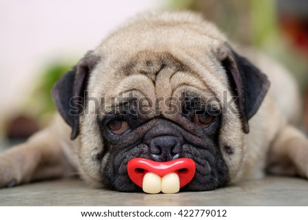 Funny face of pug dog. (Fawn pug dog lying to bite red nipple on concrete floor.) - stock photo