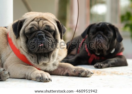 Funny face of Pug dog laying on marble floor.