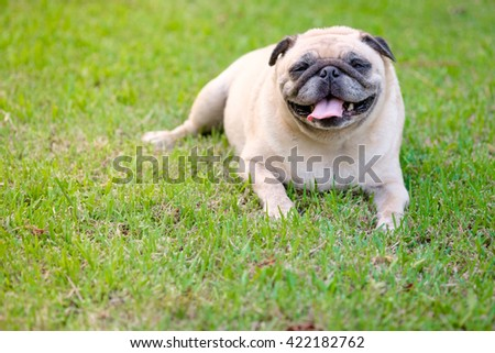 Funny face of pug dog.(Pug dog playing in grass field.)