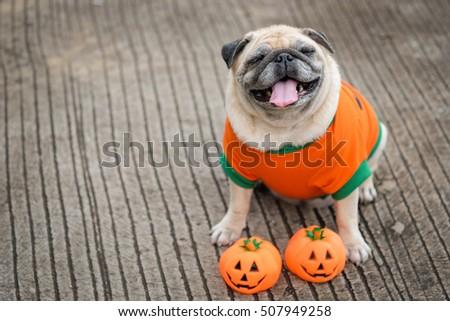 Funny face of pug dog with pumpkin halloween costume. & Funny Face Pug Dog Pumpkin Halloween Stock Photo u0026 Image (Royalty ...
