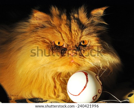 funny fat cat next to Christmas Toy - stock photo