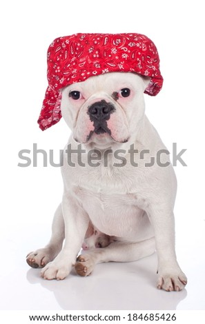 Funny french bulldog isolated