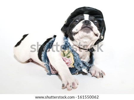 Funny French Bulldog puppy in a biker chick outfit with a silly look on her face. - stock photo