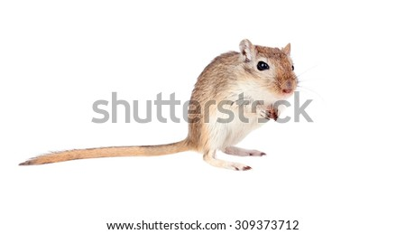 Funny gergil with a nut in his hands isolated on a white background - stock photo