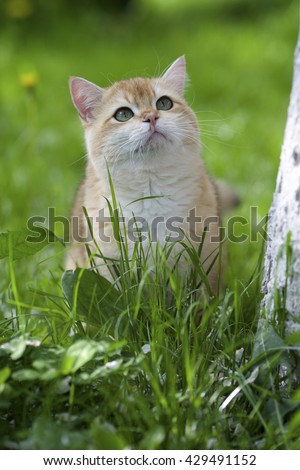 Funny ginger cat with green eyes sitting on green grass in garden in summer day