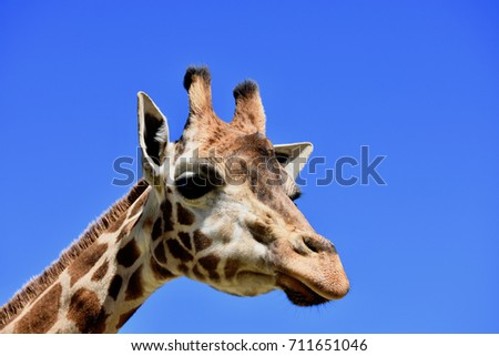 Funny giraffa - close up portrait on the bright blue sky background