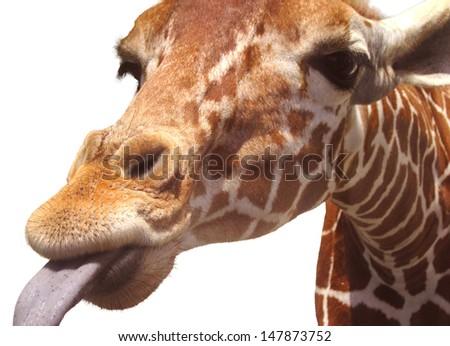 funny giraffe, isolated on white background - stock photo