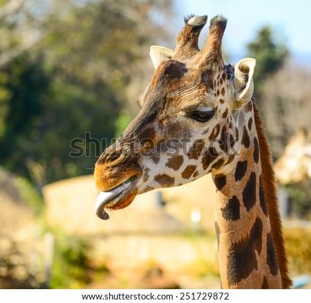 Funny giraffe portrait outdoors - stock photo