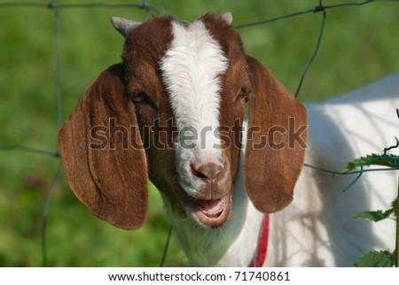 Funny goat - stock photo