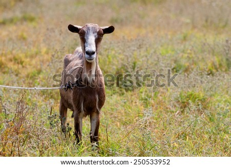funny goat in the middle of pasture  - stock photo