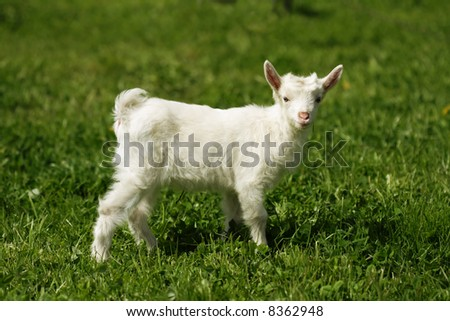 Funny goat on green meadow
