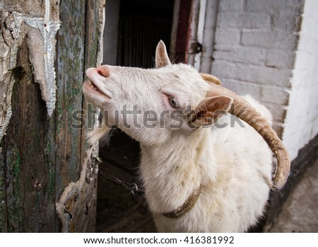 funny goat with close mouth a silly expression on it's face. Pet symbol of the year in the Chinese calendar cyclical