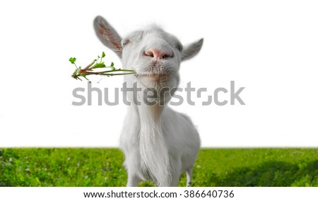 Funny goat with the bunch of grass on a green meadow isolated on a white background
