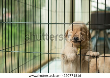 funny golden retriever puppy trying to escape - stock photo