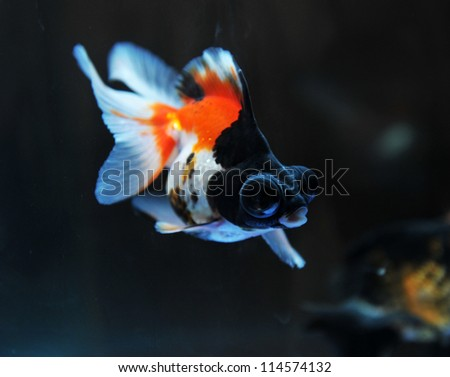 funny goldfish in fishbowl with funny action. - stock photo