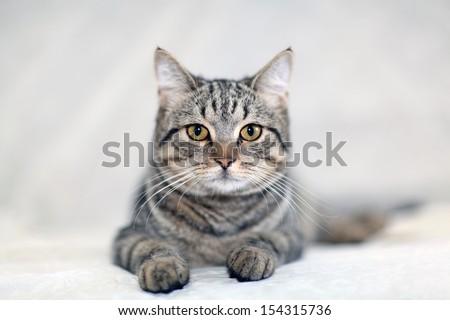 funny gray cat on a sofa - stock photo
