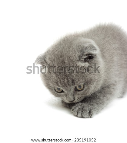 funny gray kitten on a white background isolated