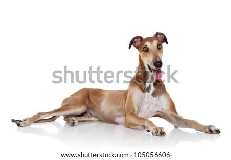 Funny Greyhound dog posing white background - stock photo
