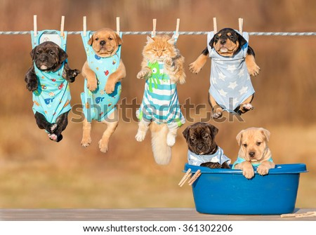 Funny group of american staffordshire terrier puppies with little red cat hanging on a clothesline and two puppies sitting in a washing bawl - stock photo