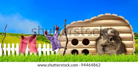 funny guinea pig at his residence - stock photo