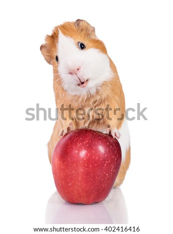 Funny guinea pig with an apple isolated on white background  - stock photo