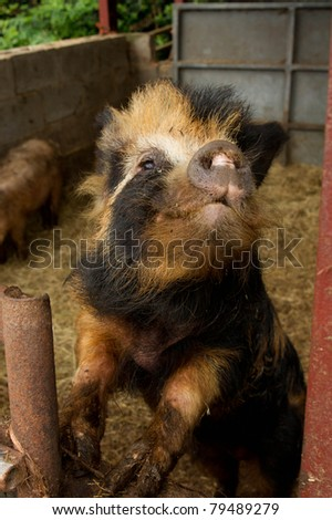 funny hairy pig at the farm - stock photo